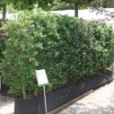 Ilex aquifolium Limsi - Hedge element