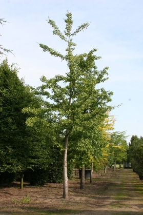 Maidenhair tree (1)
