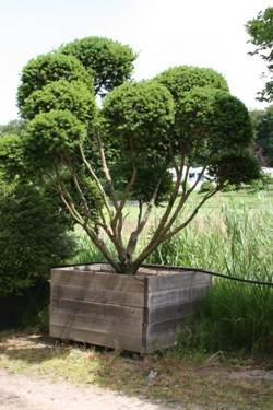 Taxus baccata (1)